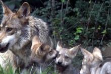 Wilki i psy - czyli dominacja, czy współdziałanie?